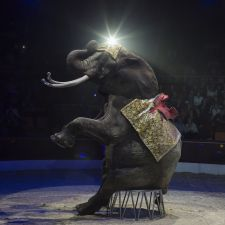 Sitting elephant Elephant trained by Rene Caselly performs during show in Budapest, Hungary on October 05, 2013.
