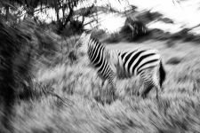 Zebra Zebras graze on the plains at the foot of Mount Kilimanjaro in Amboseli National Park , Kenya, April 6 2014